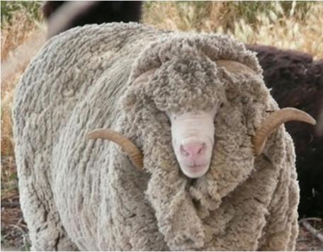 About merino